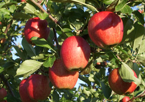 Beautiful Nova Scotia Apples