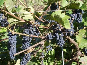Grapes for Winemaking